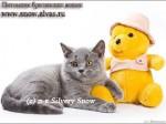 питомник британских кошек Silvery Snow