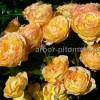 Саженцы роз напрямую из питомника